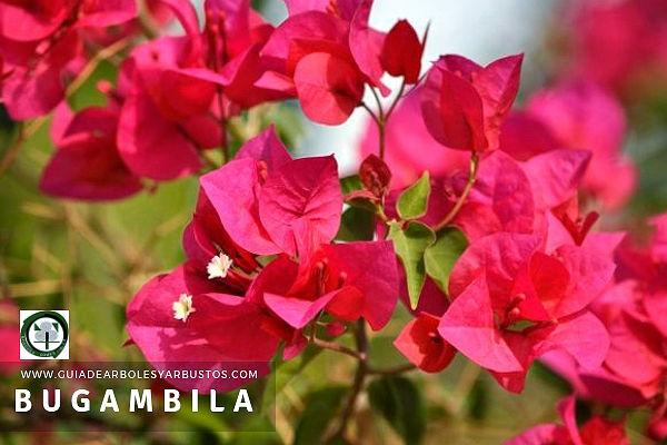La Bungambila o Bugambillia Planta del género Bougoinvillea de la familia Nyctaginaceae