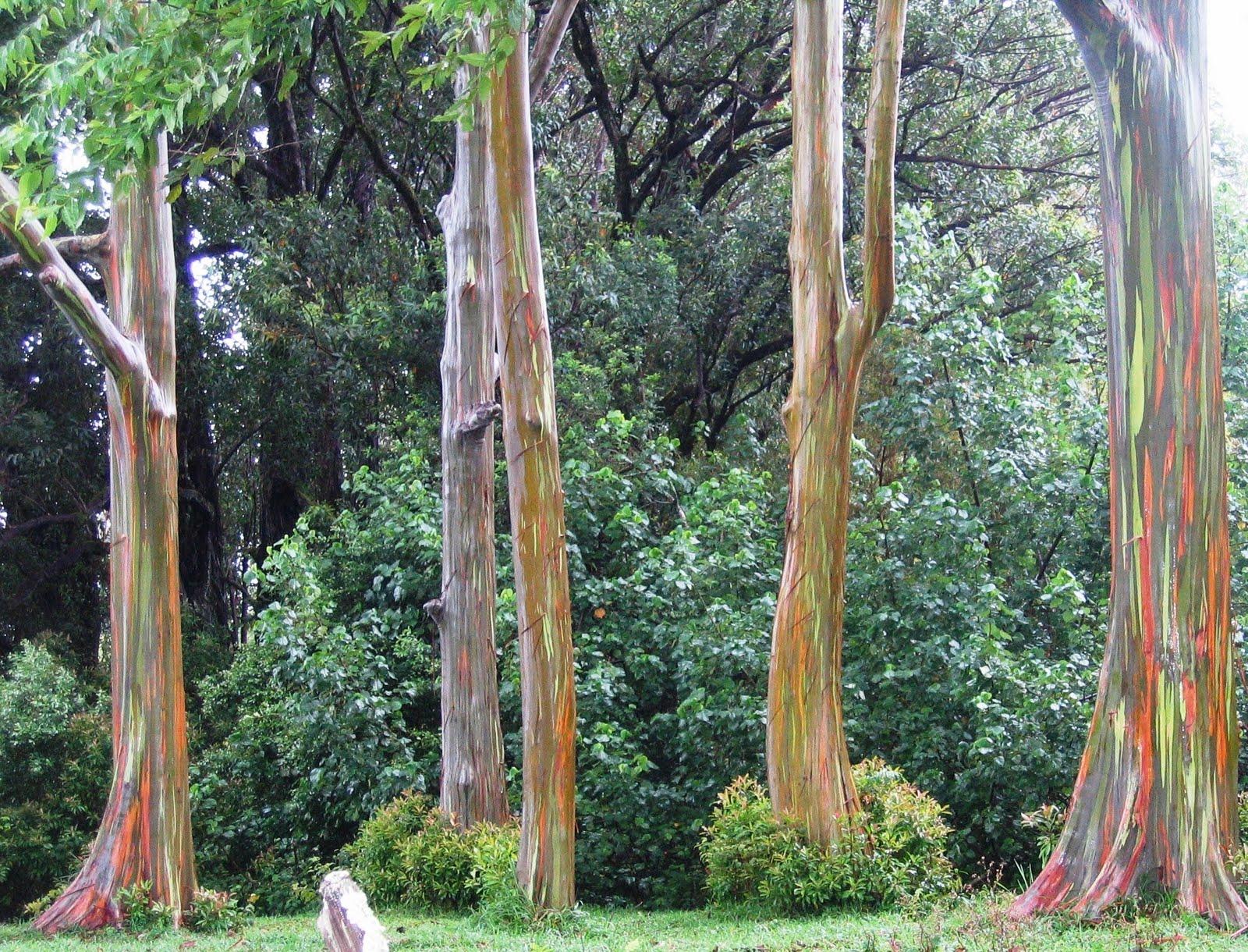 Pebelle: The Rainbow Tree