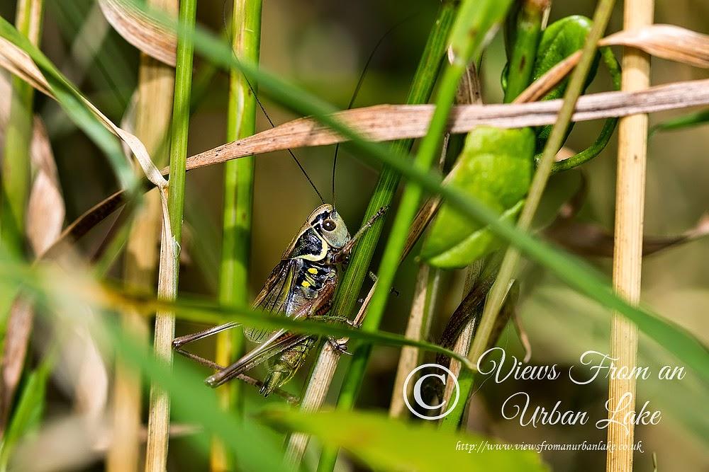Rosel's Bush-cricket - Lodge Lake, Milton Keynes