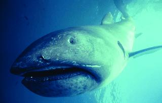 Tiburón de boca ancha - Megachasma pelagios