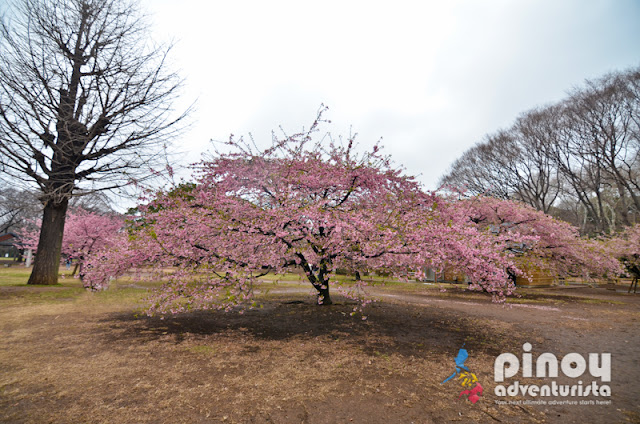 2018 Cherry Blossom Forecast in Japan