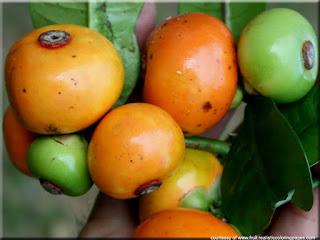 Button mangosteen (Garcinia prainiana) asian fruit pictures