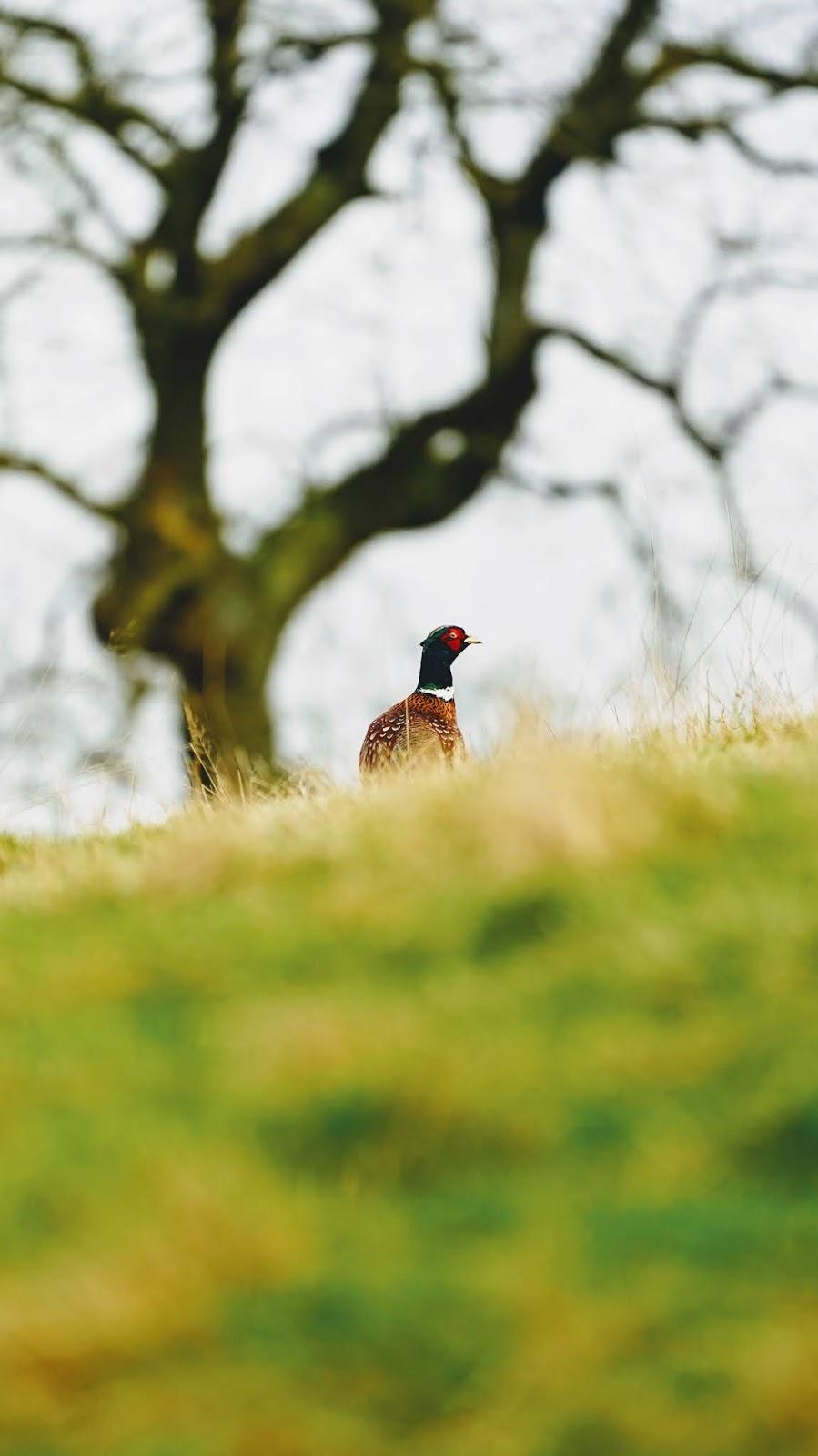 The Golden Pheasant a wonderful golden colors bird