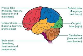 Pembagian lobus otak