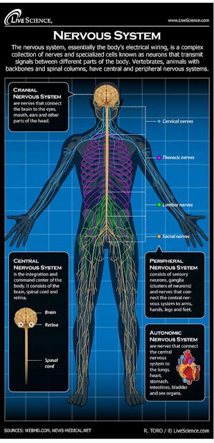 Cara kerja otak dan saraf