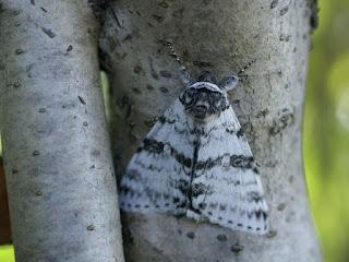 Catocala relicta - Likénée blanche