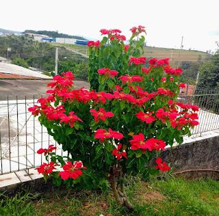 A imagem mostra uma linda planta repleta de lindas flores vermelhas.