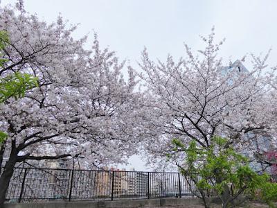 大阪城桃園(Peach Grove)の桜