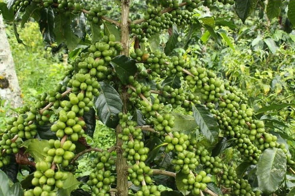 Benih Kopi Robusta Unggul Robusta Coffe Seed Banten