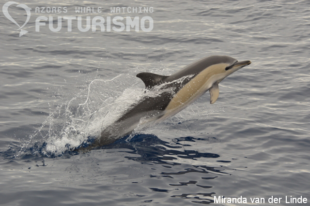 Azores whale watching Futurismo: Common dolphins, pilot ...