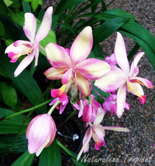 Flores de una especie de orquídeas del género Spathoglottis