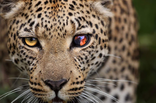 Galaxy Eyed Leopard #nature