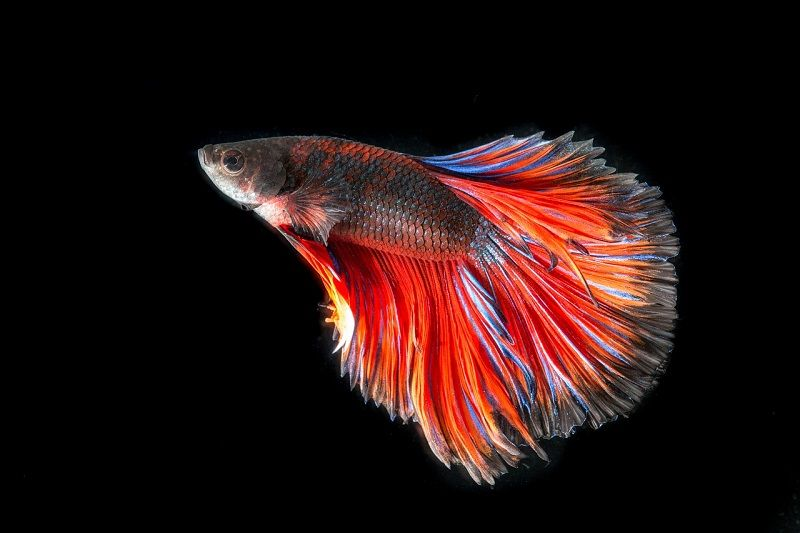 Image Betta Fish Food Care