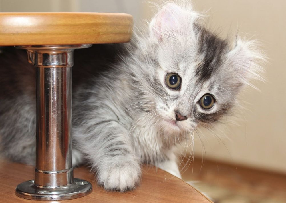 Follow The Piper American Curl Cats