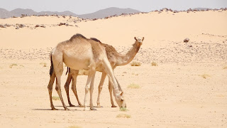 3000000 camels live in Sudan