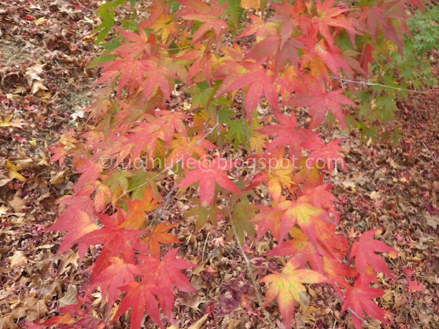 Fushoushan Farm maple autumn foliage