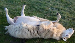 Καλαμάτα: Πρόβατα μασούλησαν 200 κιλά χασίς και έγιναν ντάγκλα