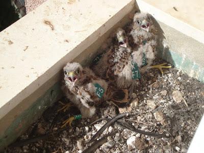 Pollos anillados en el nido.
