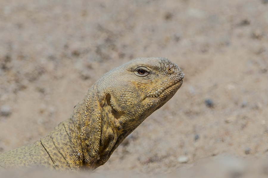 Arabian Spiny-tailed Lizard