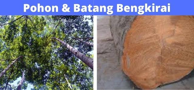 pohon & batang bengkirai