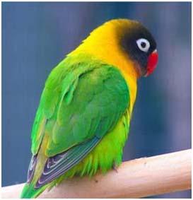 Burung Lovebird - Keberhasilan dan Kegagalan Dalam Penanganan Burung Lovebird Mabung - Faktor-Faktor yang Salah dan Benar Tentang Mabung Burung