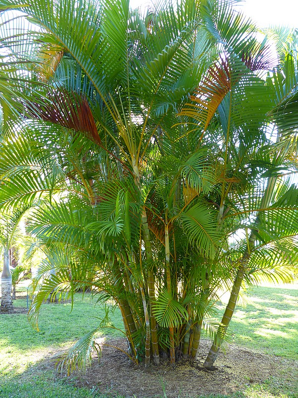 faaxaal photos nature gratuites et libres de droits dypsis lutescens chrysalidocarpus. Black Bedroom Furniture Sets. Home Design Ideas