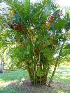 Dypsis lutescens - Chrysalidocarpus lutescens - Palmier d'arec - Palmier multipliant