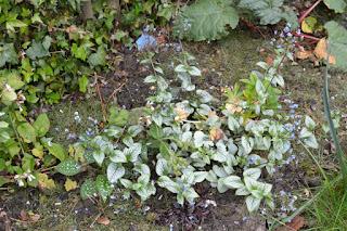 brunnera jack frost