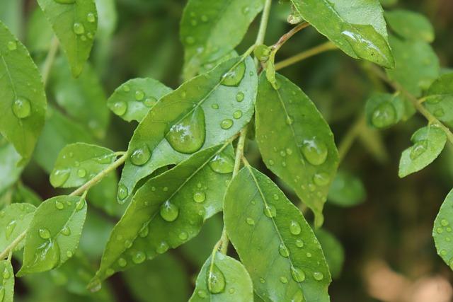manfaat daun kari untuk tubuh