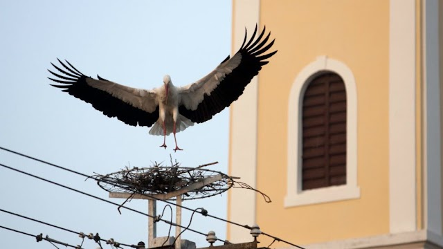 Ismét Vörsön szállt le Magyarország első gólyája