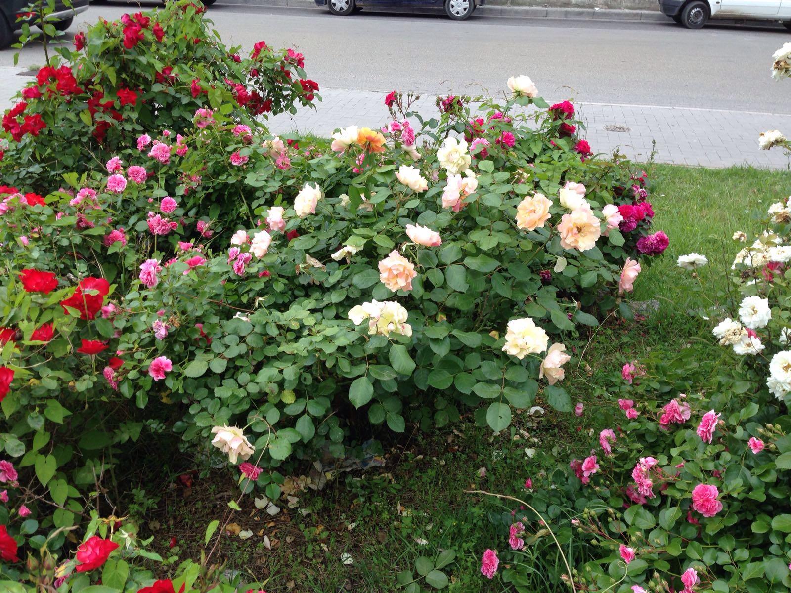 Quante Varietà Di Rose Esistono paint your life: roses, roses, roses..