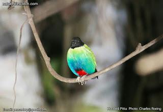 Burung Pitta Kepala Hitam di Hutan Distrik Selemkai di Lembah Klasow Kabupaten Tambrauw