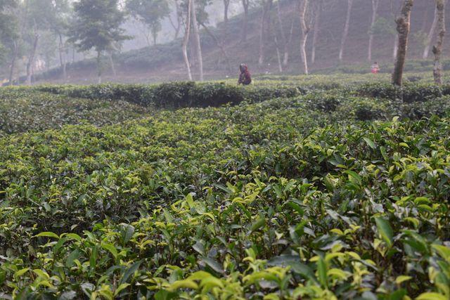 Mathiura tea estate | Moulvibazar | Beautiful 6 images