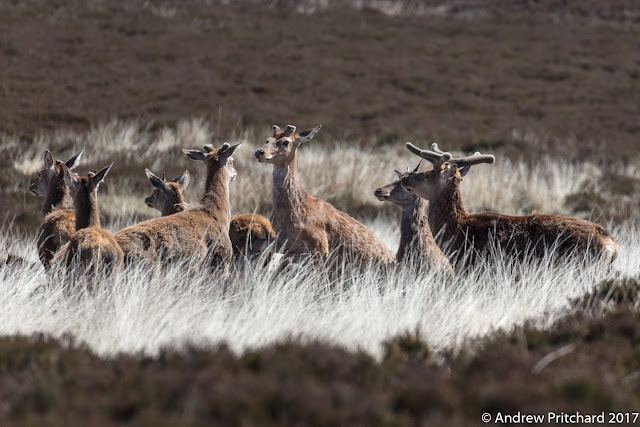 Two stags in a group of other male deer face off while the others watch.