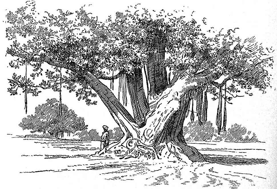 an A.H. Hallam Murray book illustration, exotic tree