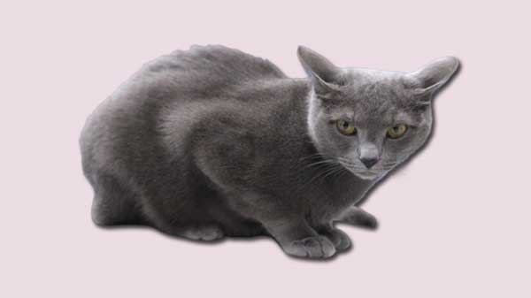 Russian Blue Cat Breed Information