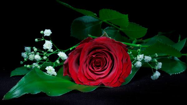 wallpaper hitam mawar merah