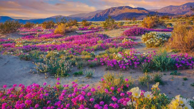 flores coloridas en el desierto anza-borrego California
