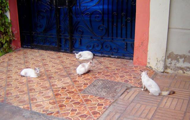 Białe koty w Maroko. Casablanca