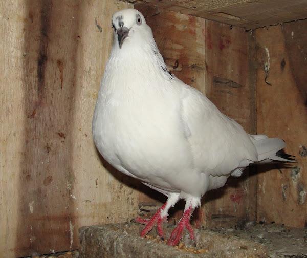 Pigeon Farming | Modern Farming Methods