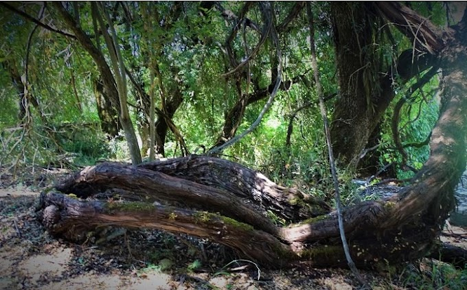 Παγκράτι Καλαβρύτων – Κλήμα Παυσανία: Ένα κλήμα 3.000 ετών