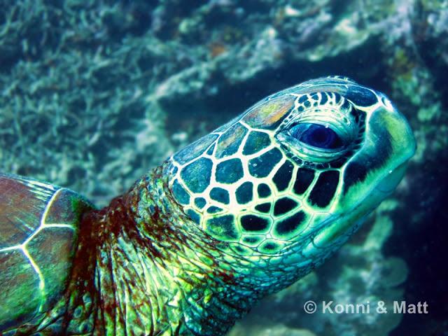 green turtle, cebu, visayas, philippines