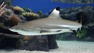 Jenis Ikan Hiu Yang Dapat Dipelihara Di Aquarium |  Hiu Blacktip/Blacktip Shark