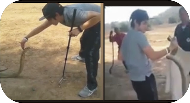 Man catches king cobra with bare hands
