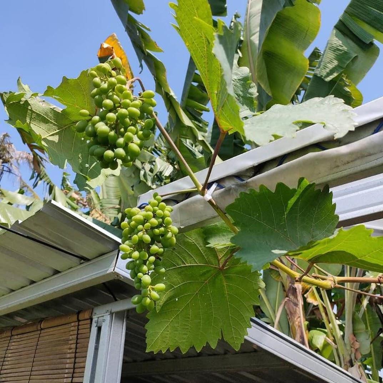 Bibit anggur harold VALID Sumatra Barat