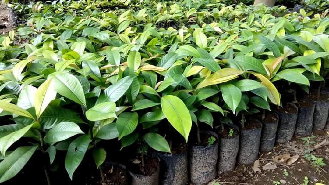 Ready! Bibit Tanaman Buah manggis Okulasi Cepat Berbuah Tambulampot Kota Bandung #jual bibit buah buahan