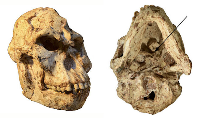 'Little Foot' skull reveals how this more than 3 million year old human ancestor lived