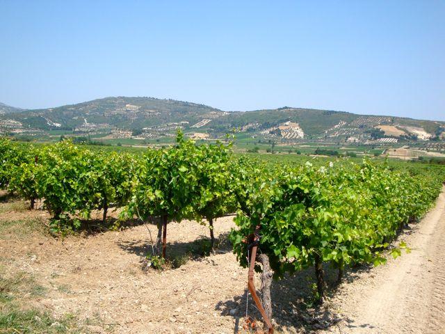 виноградник в Греции