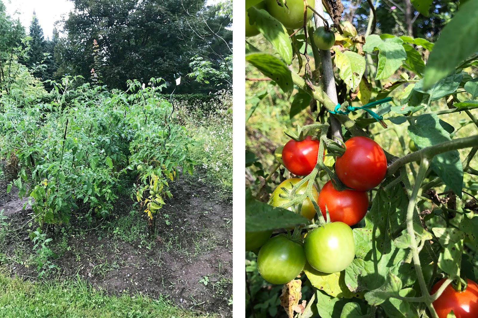 garden tomatoes | sevengrams