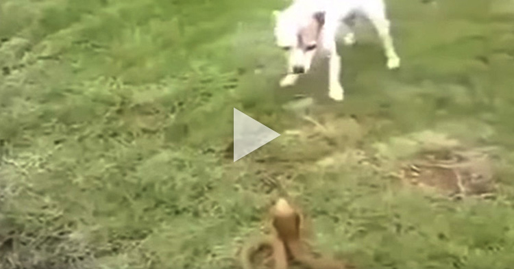 Brave Dog attacks venomous King Cobra
